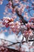 日本東北溫泉賞櫻 4:016秋田田澤湖浮木神社.jpg