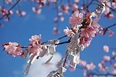 日本東北溫泉賞櫻 4:018秋田田澤湖浮木神社.jpg