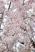 日本東北溫泉賞櫻 2:015山形天童倉津川.jpg