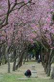 台南市春之花:02羊蹄甲-台南公園.jpg