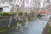 日本東北溫泉賞櫻 2:016山形天童倉津川.jpg
