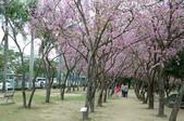 台南市春之花:03羊蹄甲-台南公園.jpg