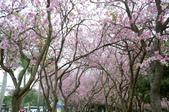 台南市春之花:04羊蹄甲-台南公園.jpg
