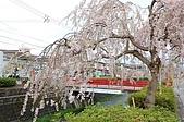 日本東北溫泉賞櫻 2:019山形天童倉津川.jpg