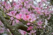 台南市春之花:06羊蹄甲-台南公園.jpg