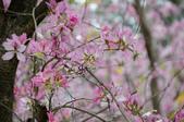 台南市春之花:07羊蹄甲-台南公園.jpg