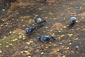 07.11.16.北海道.舊道廳:湖邊有幾隻不怕生的鴿子,從旁邊走過都沒有動靜