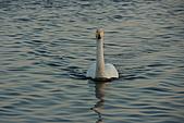 07.11.13.北海道.天鵝湖:這隻從湖的對面一直往我們這邊游過來