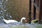 07.11.15.北海道.海洋公園:河邊照到的天鵝