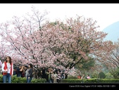 08.03.22.淡水天元宮賞櫻:櫻花隨拍
