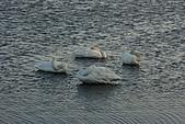 07.11.13.北海道.天鵝湖:天鵝