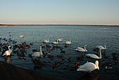 07.11.13.北海道.天鵝湖:一群天鵝