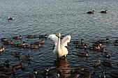 07.11.13.北海道.天鵝湖:本來要拍他展翅的樣子,結果剛好拍到他剛展翅完收翅膀..Orz