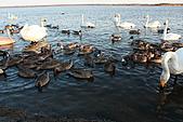 07.11.13.北海道.天鵝湖:又是一大群的天鵝