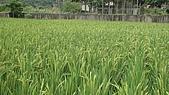 紅香米栽培:紅香米018.JPG
