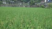 紅香米栽培:紅香米019.JPG