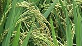 紅香米栽培:紅香米020.JPG