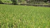 紅香米栽培:紅香米021.JPG