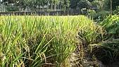 紅香米栽培:紅香米022.JPG