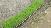 紅香米栽培:紅香米011.JPG
