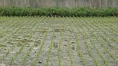 紅香米栽培:紅香米013.JPG
