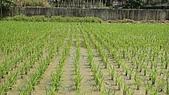 紅香米栽培:紅香米014.JPG