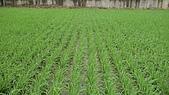 紅香米栽培:紅香米015.JPG