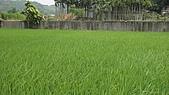 紅香米栽培:紅香米016.JPG