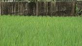 紅香米栽培:紅香米017.JPG