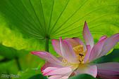 花草植物:5890荷花-蓮花.jpg