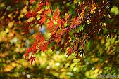 秋季福壽山農場‧楓紅:DSC_2673s福壽山楓紅-秋季楓葉-秋天.jpg