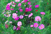 花草植物:DSC_0215波斯菊.JPG