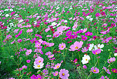 花草植物:DSC_0218波斯菊.JPG