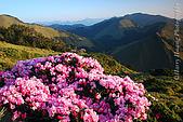 花草植物:DSC_1580合歡東峰-玉山杜鵑.JPG