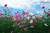 花草植物:DSC_0220波斯菊.JPG