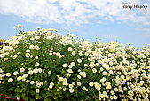 花草植物:DSC_0226杭菊.JPG
