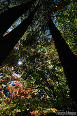 秋季福壽山農場‧楓紅:DSC_2679s福壽山楓紅-秋季楓葉-秋天.jpg