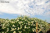 花草植物:DSC_0228杭菊.JPG