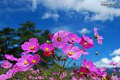 花草植物:DSC_1181福壽山農場-波斯菊.jpg