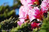花草植物:DSC_1607合歡東峰-玉山杜鵑.JPG