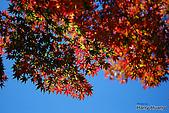 秋季福壽山農場‧楓紅:DSC_2603_福壽山楓紅-秋季楓葉-秋天.JPG