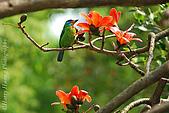 飛禽昆蟲:DSC_9197ct-木棉花-五色鳥.jpg