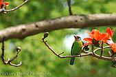 飛禽昆蟲:DSC_9198ct-木棉花-五色鳥.jpg