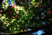 秋季福壽山農場‧楓紅:DSC_2612_福壽山楓紅-秋季楓葉-秋天.JPG