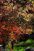 秋季福壽山農場‧楓紅:DSC_2663_福壽山楓紅-秋季楓葉-秋天.JPG