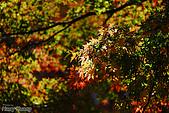 秋季福壽山農場‧楓紅:DSC_2666_福壽山楓紅-秋季楓葉-秋天.JPG