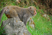 野生動物:DSC_3366台灣獼猴.jpg