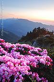 花草植物:DSC_1559合歡東峰-玉山杜鵑.JPG