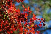秋季福壽山農場‧楓紅:DSC_2671_福壽山楓紅-秋季楓葉-秋天.JPG