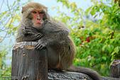 野生動物:DSC_3427台灣獼猴.jpg